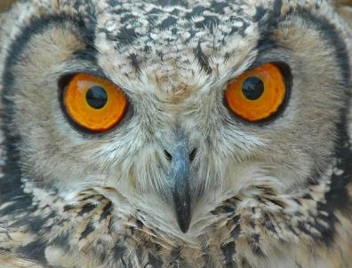 Eurasian Eagle-Owl (Bubo bubo) by Nikhil Devasar