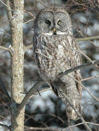 Great Grey Owl (Strix nebulosa) WikiC
