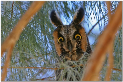 Northern Long-eared Owl by DavesBP
