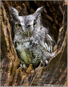 Western Screech Owl (Megascops kennicottii)(captive) by Raymond Barlow