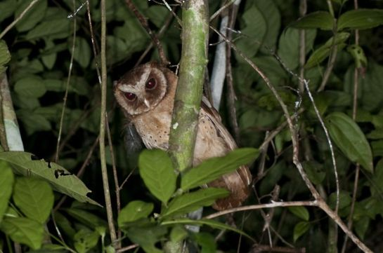 White-fronted Scops Owl (Otus sagittatus) by MAMuin