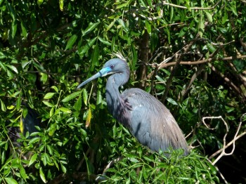 Tricolored Heron at Gatorland