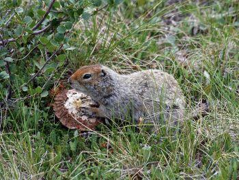 Artic Ground Squirrel (Spermophilus parryii) (eating mushroom) ©WikiC