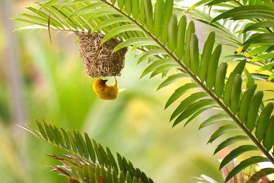 Golden Palm Weaver (Ploceus bojeri) ©WikiC