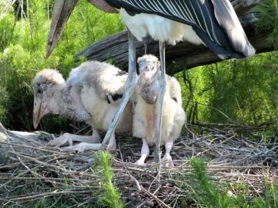 Marabou Stork (Leptoptilos crumenifer) with chicks-Jax Zoo by Lee