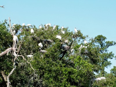 Wood Stork (Mycteria americana) Jax Zoo by Lee