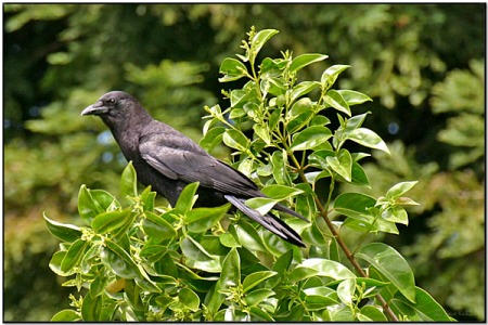 American Crow (Corvus brachyrhynchos) by Daves BirdingPix