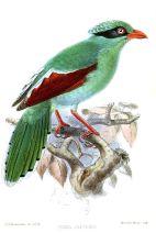 Javan Green Magpie (Cissa thalassina) Drawing WikiC