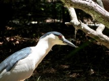 Black-crowned Night Heron (Nycticorax nycticorax) Jax Zoo by Lee