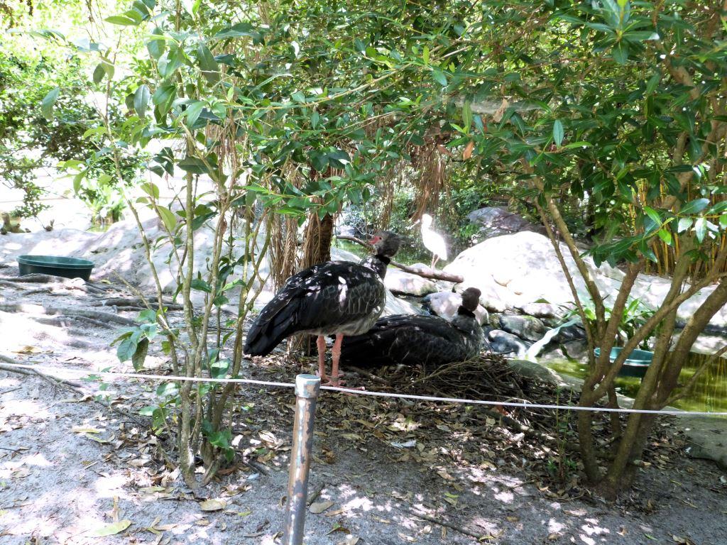 Southern Screamer (Chauna torquata)  Jax Zoo by Lee