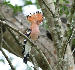 Hoopoe Chick Looks Out