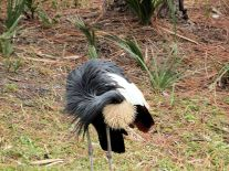 Black Crowned Crane (Balearica pavonina pavonina) (West African) at Brevard Zoo by Lee