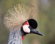 Grey Crowned Crane (Balearica regulorum) ©WikiC