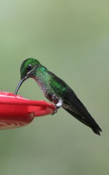 Green-crowned Brilliant (Heliodoxa jacula) by Margaret Sloan