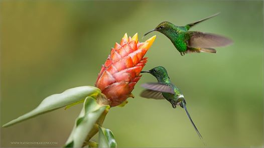 Green Thorntail (Discosura conversii) and Coppery-headed Emerald by Ray