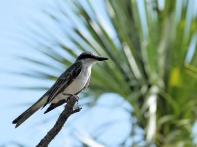 Grey Kingbird by Lee at Honeymoon Is SP