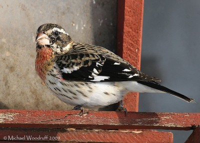Rose-breasted Grosbeak (Pheucticus ludovicianus) by Michael Woodruff