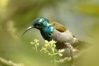 Green-headed Sunbird (Cyanomitra verticalis) ©WikiC