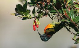 Wordless Birds – Green-tailed Sunbird