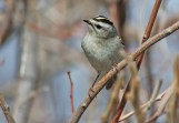 Golden-crowned Kinglet (Regulus satrapa) by Raymond Barlow