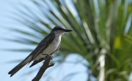 The Kingbird – McGuffey's Second GradeReader
