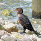 Double-crested Cormorant (Phalacrocorax auritus) by Lee at Honeymoon Is SP