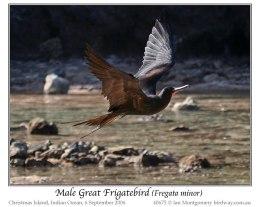 Great Frigatebird – Ian's Bird of theWeek