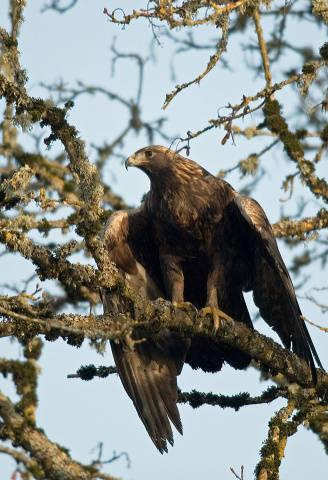 Golden Eagle (Aquila chrysaetos) ©USFWS