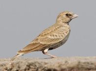 Ashy-crowned Sparrow-Lark (Eremopterix griseus)