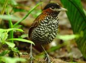Black-crowned Antpitta (Pittasoma michleri) ©WikiC