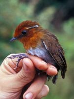 Chestnut-crowned Gnateater (Conopophaga castaneiceps) ©WikiC