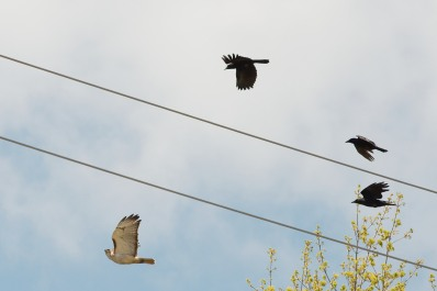 Red-tailed Hawk (Buteo jamaicensis) Mobbed by Crows ©WikiC