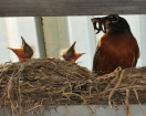 American Robin (Turdus migratorius) with young in nest