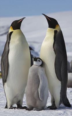 Emperor Penguin (Aptenodytes forsteri) ©WikiC