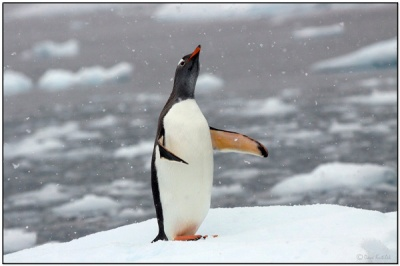 Gentoo Penguin - Paradise Bay