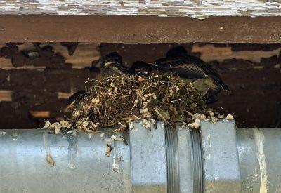 Eastern Phoebe (Sayornis phoebe) Nest ©WikiC