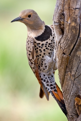 Northern Flicker (Colaptes auratus) yellow-shafted ©WikiC