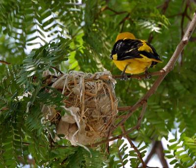 Eurasian Golden Oriole (Oriolus oriolus) Nest ©WikiC