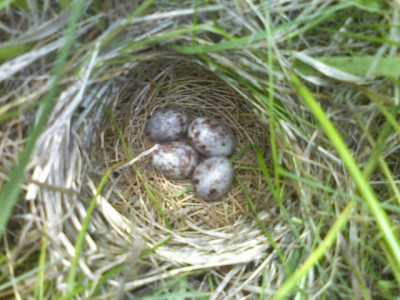 Bobolink Nest ©Flickr Mike Allen