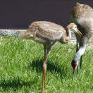 Sandhill Cranes in Sideyard 5-1-15 by Lee