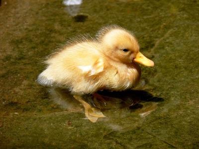 Chick ©PD