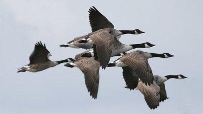 Canada Goose (Branta canadensis) ©WikiC