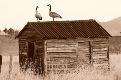 Canada Goose (Branta canadensis) On Shed ©Flickr Darron Birgwnheler