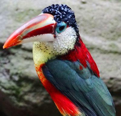 False - Curl-crested Aricari from Pinterest by Virainova