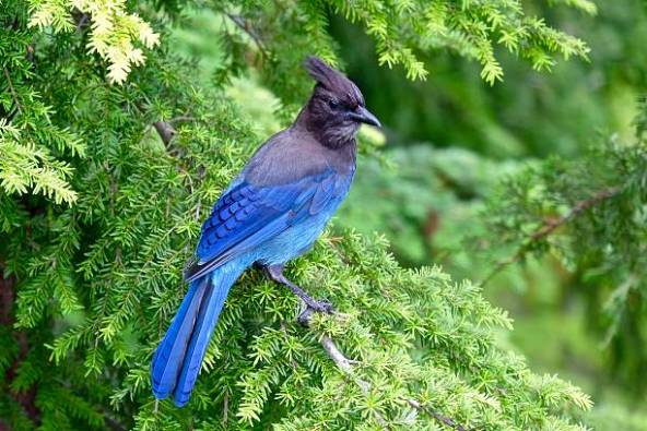 StellersJay-evergreen.iStock-Getty