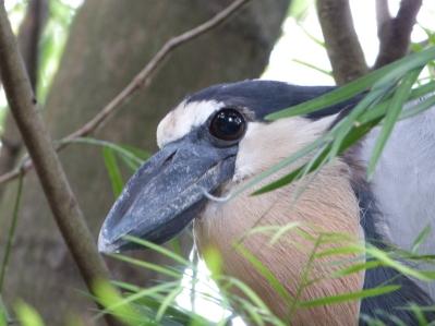 Boat-billed Heron (Cochlearius cochlearius) Lowry Park Zoo 9-15-12