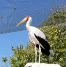 Yellow-billed Stork (Mycteria ibis) LPZ