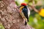 Yellow-fronted Woodpecker (Melanerpes flavifrons) ©WikiC
