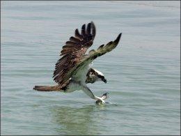 Bible Birds – OspreyIntroduction