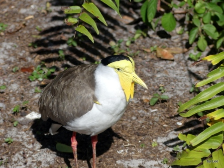 CHA-Char Masked Lapwing (Vanellus miles)